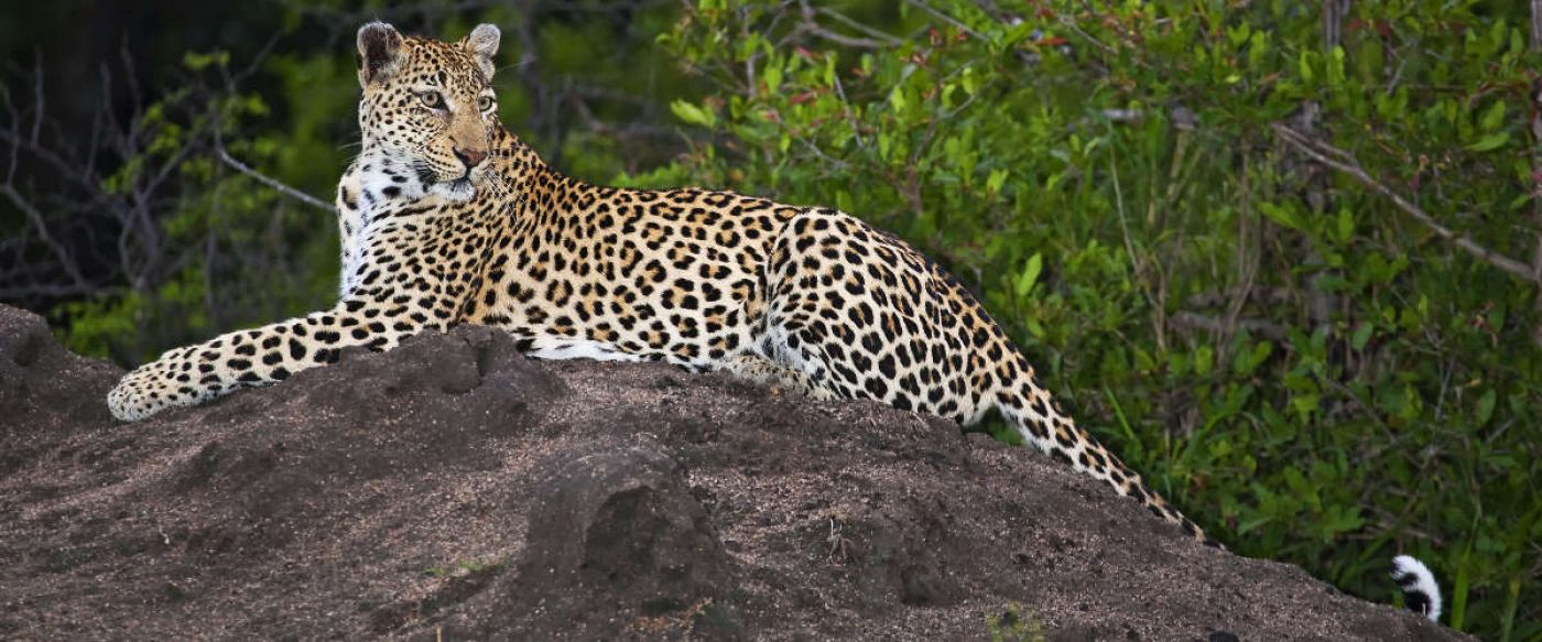 beautiful young leopard resting on a mound of soil in the bush