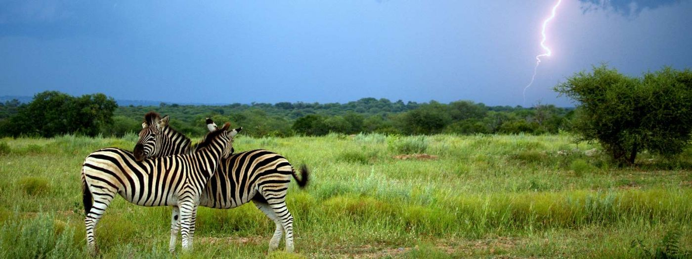 two Kruger Park zebra in green field with distant lightning flash
