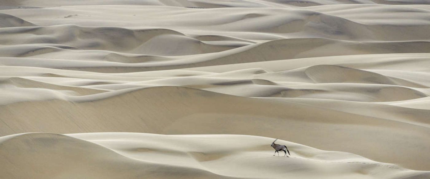 single oryx making its way through an endless sea of desert sand