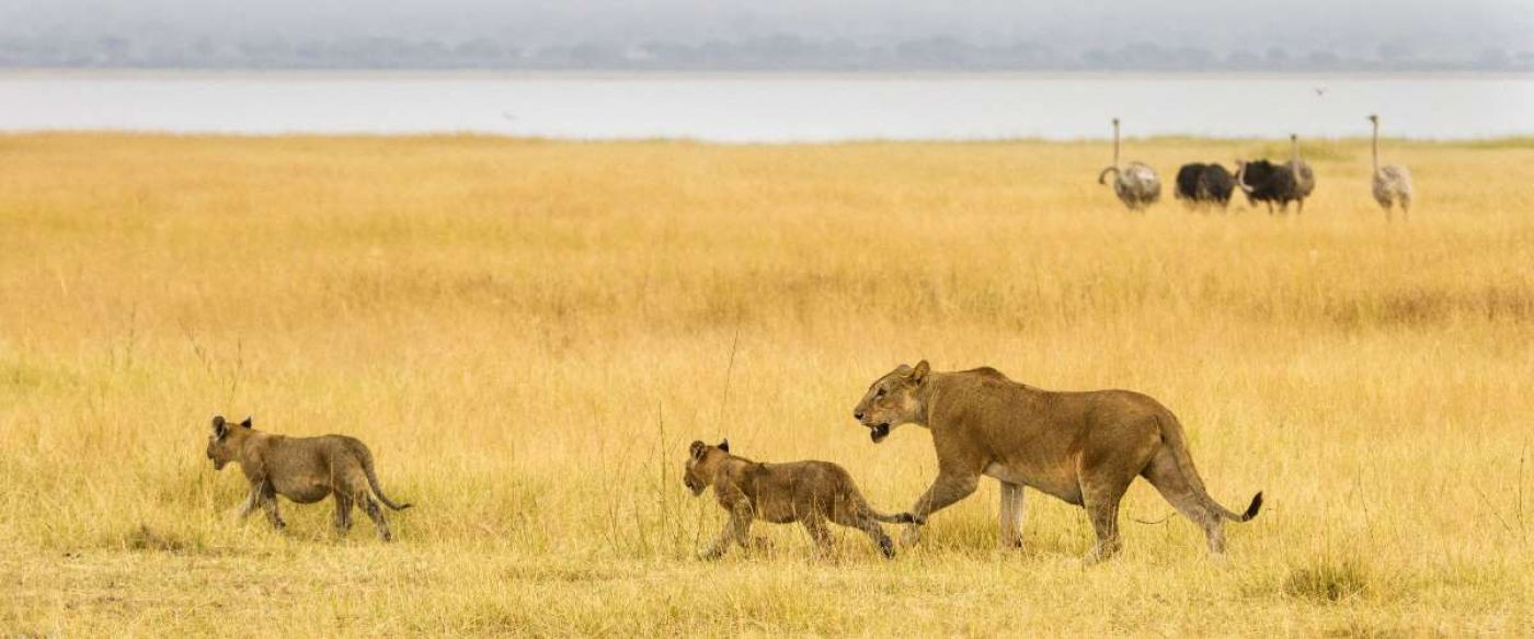 lioness and two cubs strolling past nearby ostriches nervously looking on